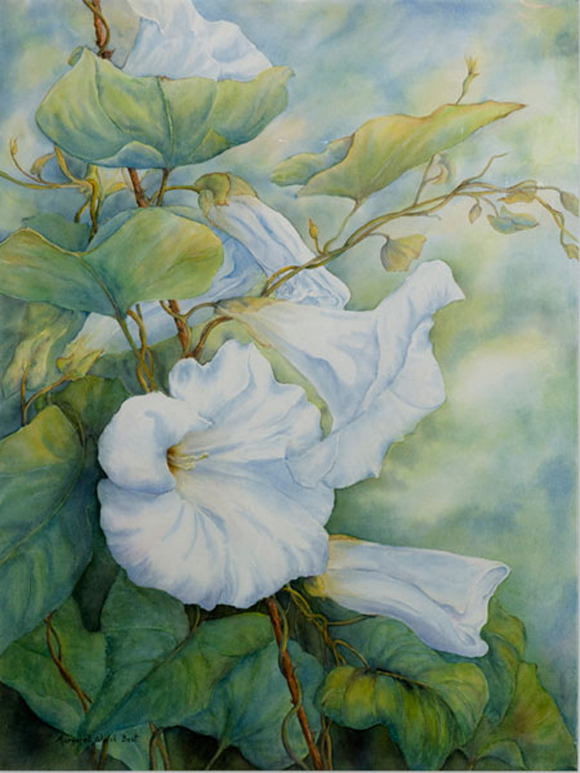 Calestegia sepium Morning Glory 22 x 30