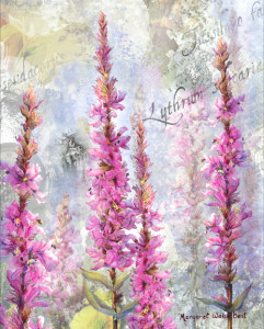 Roots of Migration Loosestrife